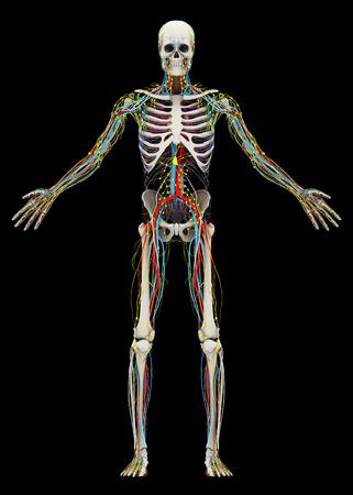 人間の (男性) スケルトンと循環、リンパ、神経系。黒の背景に分離された画像。3 D イラストレーション 写真素材