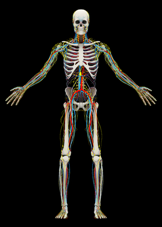 Humans (male) skeleton and circulatory, lymphatic, nervous systems. Image isolated on a black background. 3D illustration