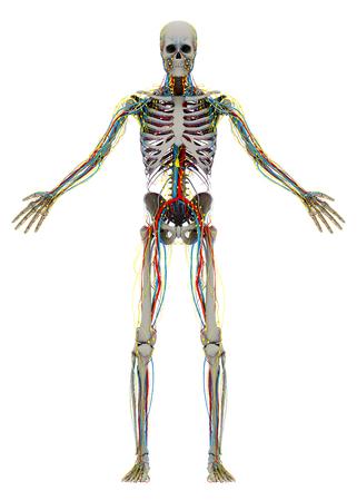 人間の (男性) スケルトンと循環、リンパ、神経系。イメージは、白い背景で隔離。3 D イラストレーション