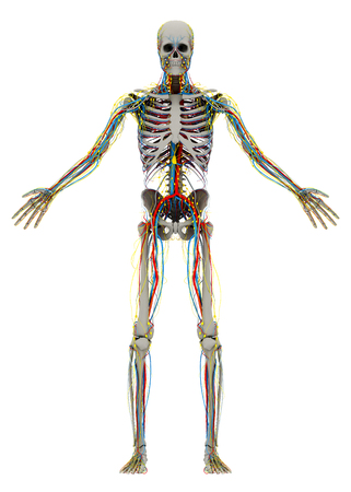 Human's (male) skeleton and circulatory, lymphatic, nervous systems. Image isolated on a white background. 3D illustration