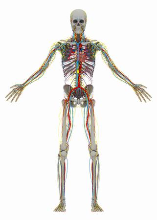 흉부와 순환계, 림프계, 신경계의 앞면이없는 인간의 (수컷) 뼈대. 흰색 배경에 고립 된 이미지입니다. 3D 일러스트 레이션