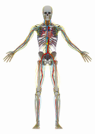 Human's (male) skeleton without front side of thorax and circulatory, lymphatic, nervous systems. Image isolated on a white background. 3D illustration