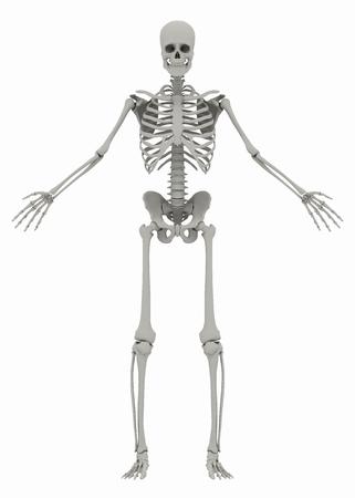 흰색 배경에 인간의 (남성) 골격. 흰색 배경에 고립 된 이미지입니다. 3D 일러스트 레이션