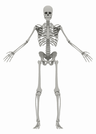 Humans (male) skeleton on white background. Image isolated on a white background. 3D illustration