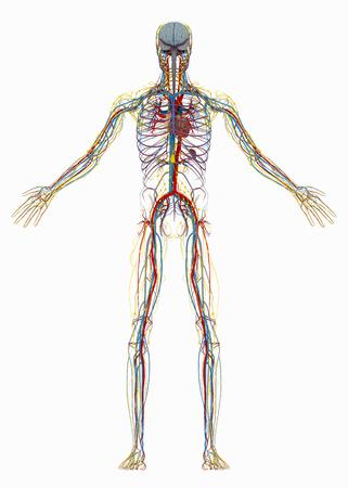 인간의 (남성) 순환계, 림프계 및 신경계. 흰색 배경에 고립 된 이미지입니다. 3D 일러스트 레이션 스톡 콘텐츠