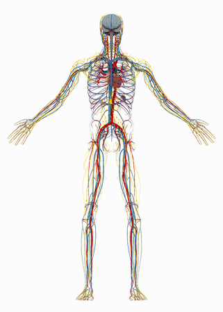 Humans (male) circulatory, lymphatic and nervous systems. Image isolated on a white background. 3D illustration