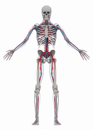 인간의 (남성) 해골과 순환계. 흰색 배경에 고립 된 이미지입니다. 3D 일러스트 레이션