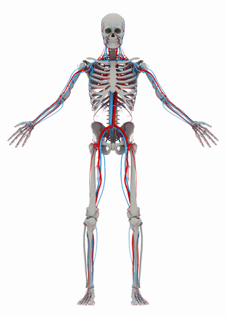 Human's (male) skeleton and circulatory system. Image isolated on a white background. 3D illustration