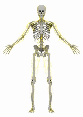 인간의 (뼈) 골격과 림프계. 흰색 배경에 고립 된 이미지입니다. 3D 일러스트 레이션