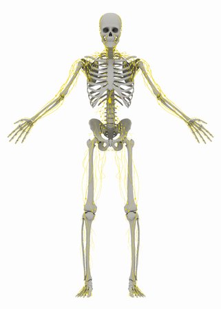 Human's (male) skeleton and lymphatic system. Image isolated on a white background. 3D illustration
