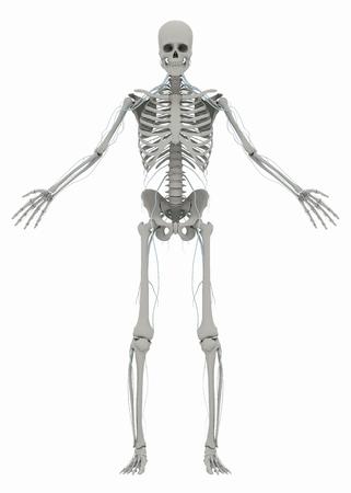 人間の (男性) 骨格、神経系。イメージは、白い背景で隔離。3 D イラストレーション