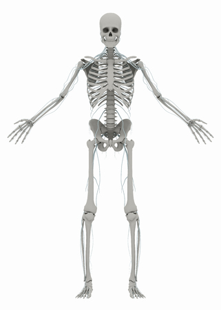 Human's (male) skeleton and nervous system. Image isolated on a white background. 3D illustration