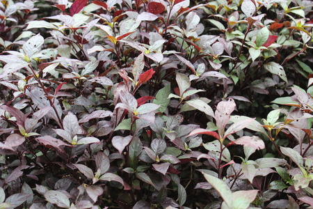 Leaf red purple close-up color autumn nature garden background Stock Photo