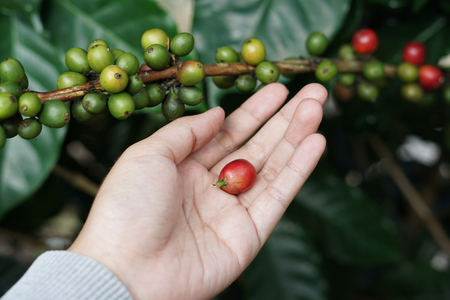 Coffee berries bean on coffee tree with hand