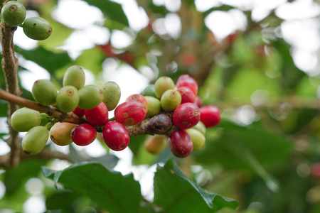 Coffee berries bean on coffee tree