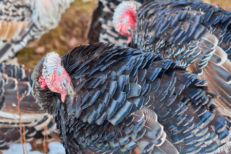 Turkeys grazing and walking on the winter meadow, turkeys cleans its wing feathers