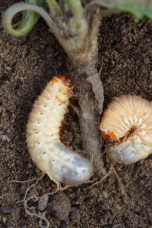 seeding: Pests control, insect, agriculture. Larva of chafer eats plant root.