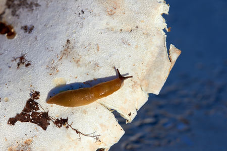 Disgusting slug on mushrooms. Harmless to humans, dangerous to agricultural plants Stock Photo