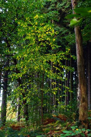 boles: Yellow leaflets on a thin aspen on a marge of a wood personify autumn Stock Photo