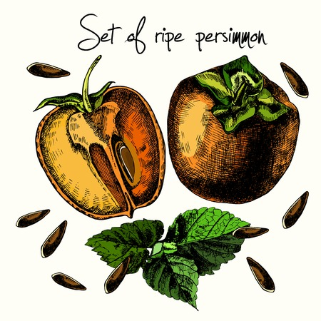 persimmon: Set of ripe persimmon. Illustrations. Vector.