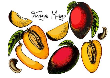 editable: Fresh Mango set Isolated On White Background. Vector illustration