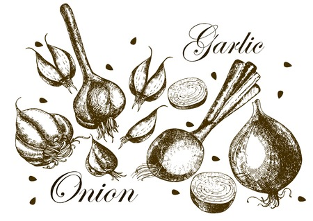Set of drawing onions and garlic . Illustrations. Vector. Illusztráció