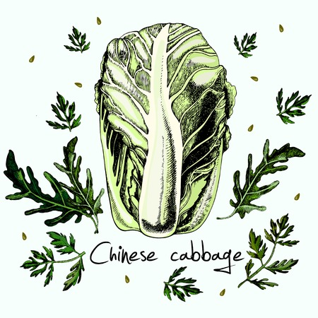brassica: Vector Pak Choi (Chinese Cabbage) isolated on white