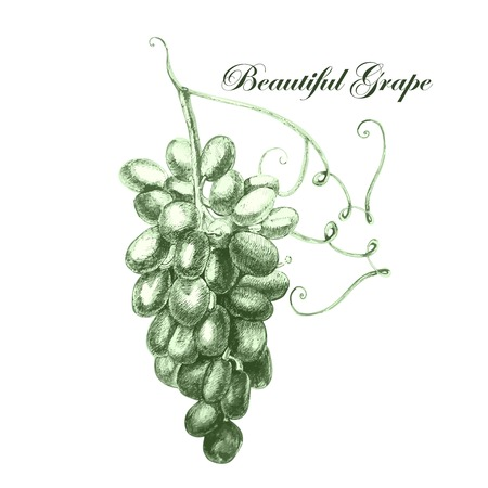 raisin: Illustration with beautiful grapes. Vector. Illustration