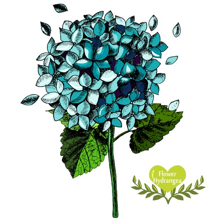 Hand-drawn beautiful flower hydrangea.