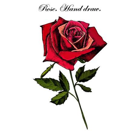 illustration with beautiful rose on a white background (hand draw)