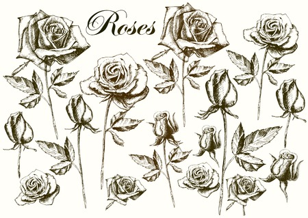 Hand drawing roses on a white background