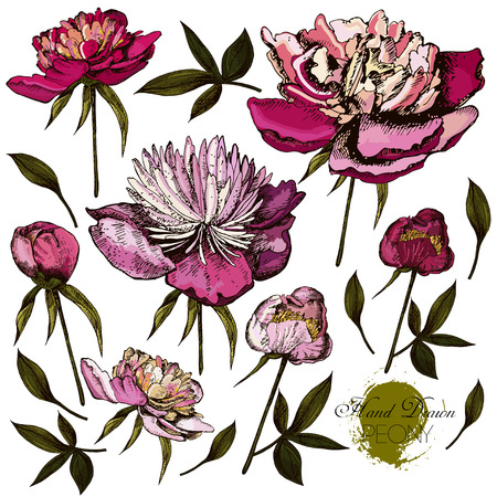 ink art: Engraved hand drawn illustrations of ornate peonies. Vector.