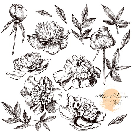 Engraved hand drawn illustrations of ornate peonies. Vector.