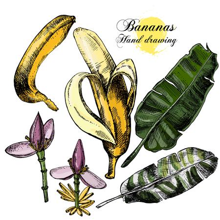 platano maduro: Gráfico de la mano de plátanos. Flores, frutas y hojas sobre un fondo blanco. Ilustración vectorial Foto de archivo