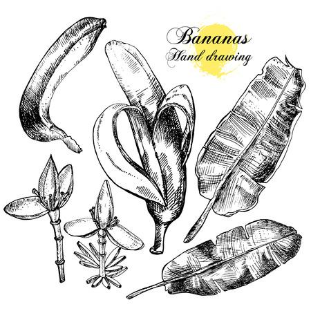 platano maduro: Gráfico de la mano de plátanos. Flores, frutas y hojas sobre un fondo blanco. Ilustración vectorial Vectores
