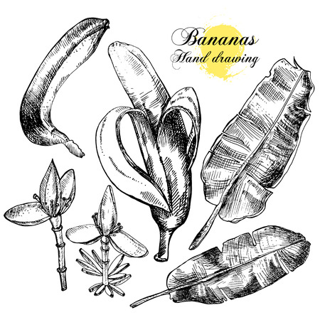 Hand drawing bananas. Flowers, fruit and leaves on a white background. Vector illustration Illustration