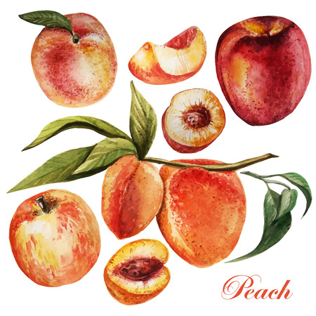 peach: watercolor set with peaches on a white background. Vector illustrations.