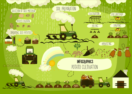 and organic: Potato cultivation, infographics. Vector. Illustration