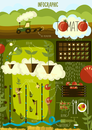 cultivation: Tomato cultivation, infographics. Vector. Illustration