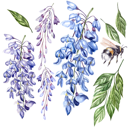 Beautiful watercolor set witt flowers of wisteria, leaves and bee. Illustration Stock Photo