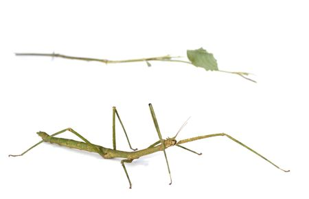 adaptation: Mimicry : It is an example of adaptation. Stick insect resembles tree branch. Stock Photo