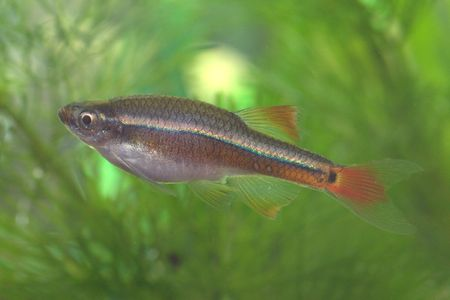 White Cloud Mountain minnow - one of the common aquarium fish Stock Photo