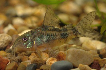 Bagre (Corydoras paleatus) uno de los más comunes de peces de acuario de fondo Foto de archivo - 2680488
