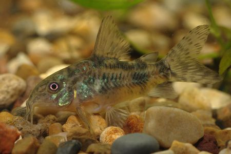 Bagre (Corydoras paleatus) uno de los m�s comunes de peces de acuario de fondo Foto de archivo - 2680488