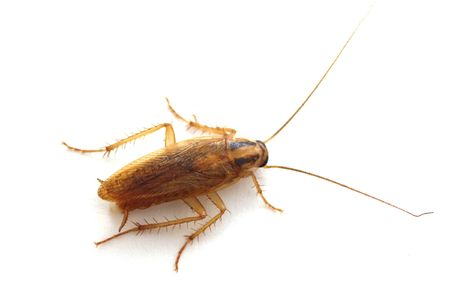 scavenging: Cockroach