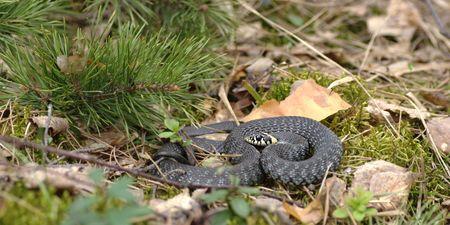 natrix: Grass-snake (Natrix natrix) � one of the most common non-venomous snake