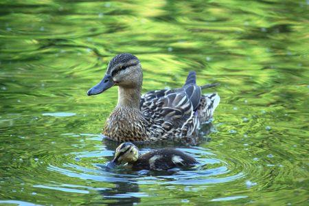 swimming bird: Duck  in the emerald green water  Stock Photo