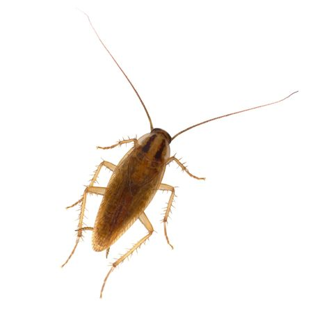 running cockroach isolated on white