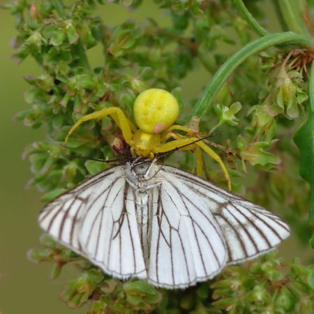Yellow flower spider (Diaea. sp.) usually wait for its victim on the flowers of the same color. This one is succeeded.