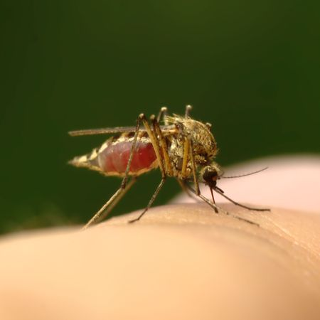 Mosquito full of blood